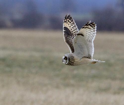 Short-eared Owl - Nations Road - © Michelle Miner - Dec 26, 2020