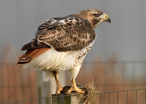 Red-tailed Hawk - Buckland Park - © Alan Bloom - Dec 27, 2020