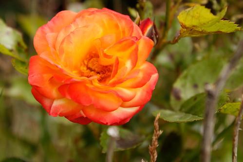 October Rose 2020