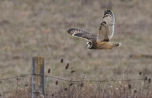 Short-eared Owl - Nations Road - © Barbara Smith - Dec 31, 2020