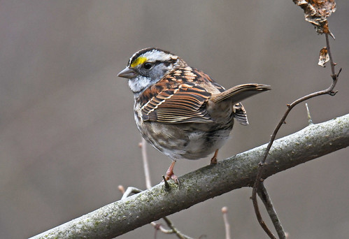 White-throated Sparrow - Whiting Road Nature Preserve - © Dick Horsey - Dec 31, 2020