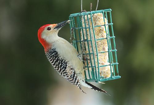 Red-bellied Woodpecker - Brighton - © Jeff Eichner - Dec 21, 2020