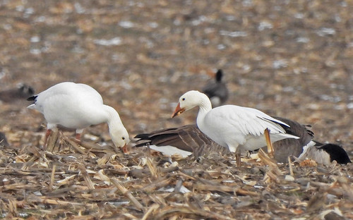 Snow Goose - Hamlin - © Candace Giles - Dec 27, 2020