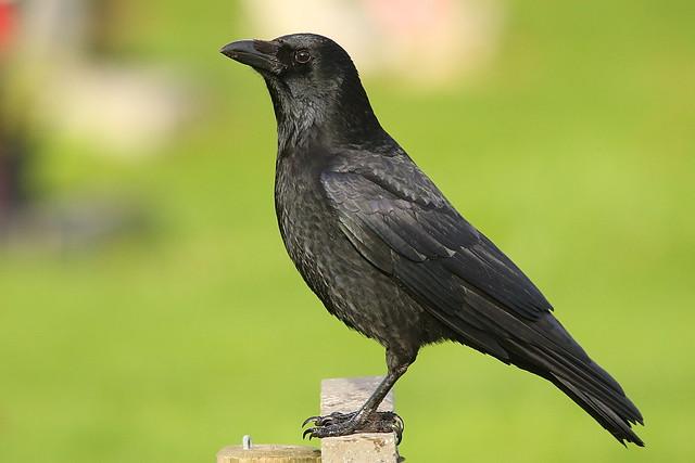 Crow in Ann's Hill Cemetery, Gosport