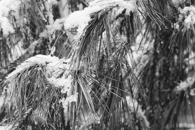 ice on white pine