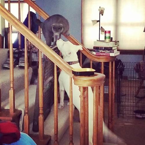 Remy and Carla having a moment.... #Remy #catsofinstagram #graycat #Carla #dogsofinstagram #pitbullsofinstagram #pitbullmix #pittie #staffordshirebullterrier #staffiesofinstagram