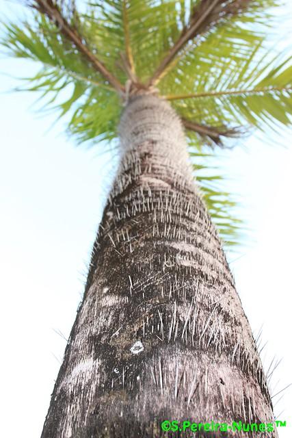 Potbellied Palm, Palmeira Barrigona, Cuba