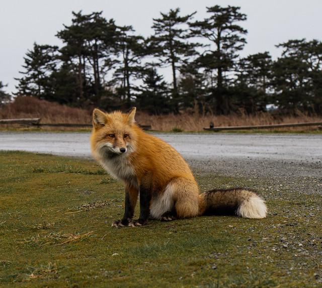 Red Fox on San Juan Island