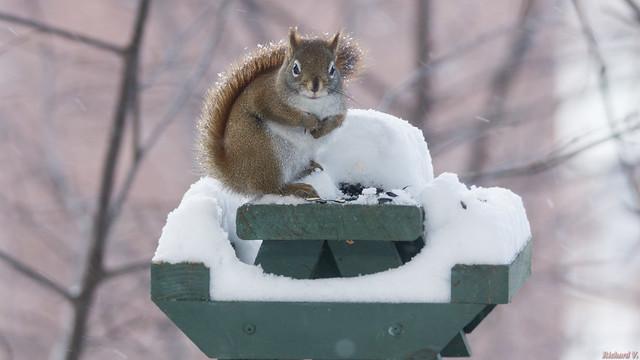 Écureuil roux en hiver, Red squirrel, PQ, Canada - 2271