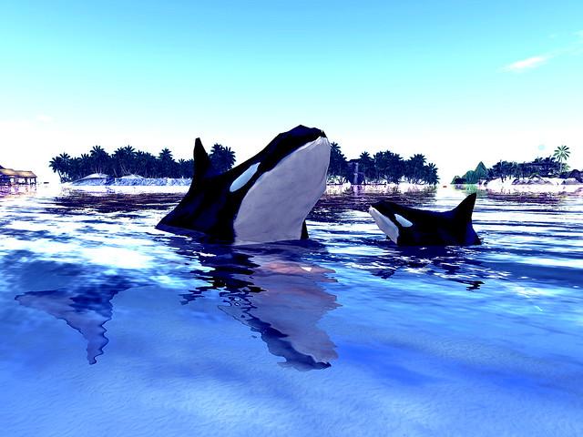Maui Resort Scuba Center -Moma To Baby Orca