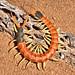 Escolopendra de Cabeza Roja - Photo (c) gilaman, algunos derechos reservados (CC BY)