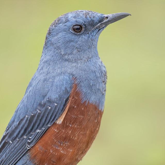 Blue rock thrush. Monticola solitarius