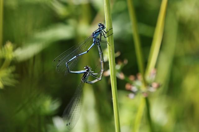 Libellen - damselflies
