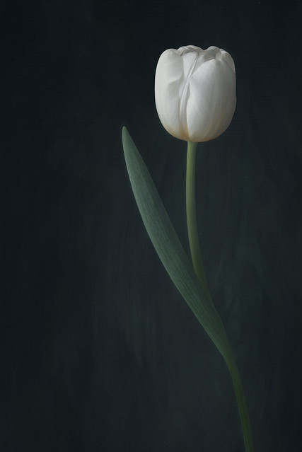 White tulip on black
