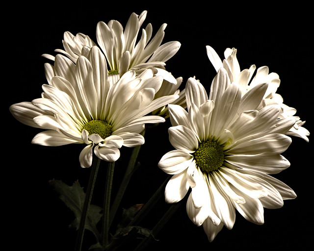 White Daisy Group 0102
