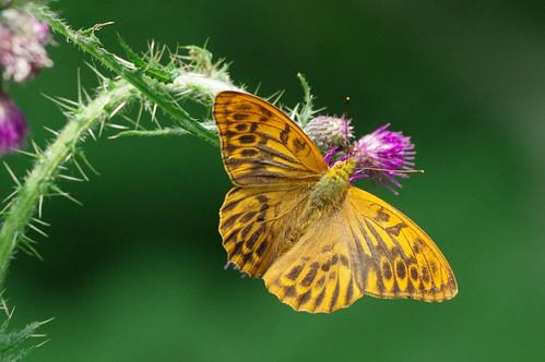 argynnispaphia cambridgeshire monkswood wild butterfly fritillary insect nature silverwashed wildlife