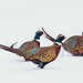 248A2087 ringneck pheasents