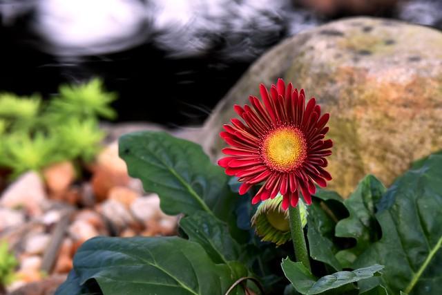 Gerbera daisy DSC_5586