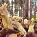 witte kluifzwam (Helvella crispa)