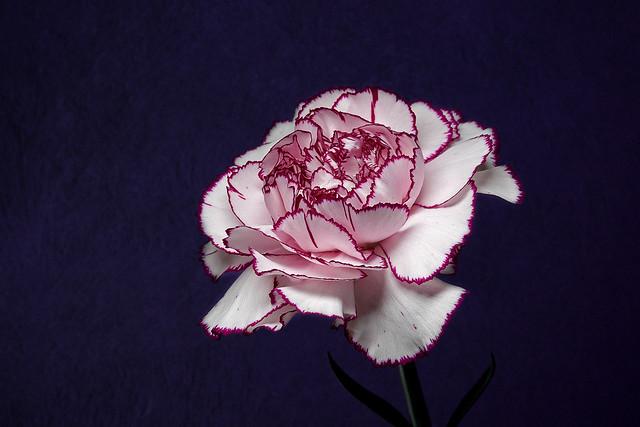 365 - Image 03 - Carnation...