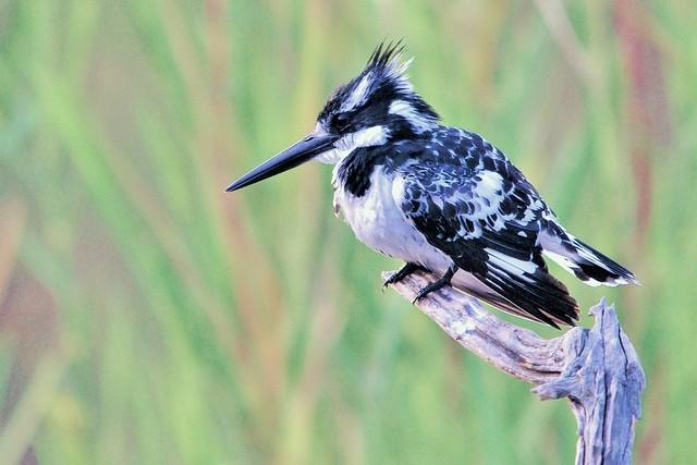 Pied Kingfisher (Ceryle rudis) At Panic Lake