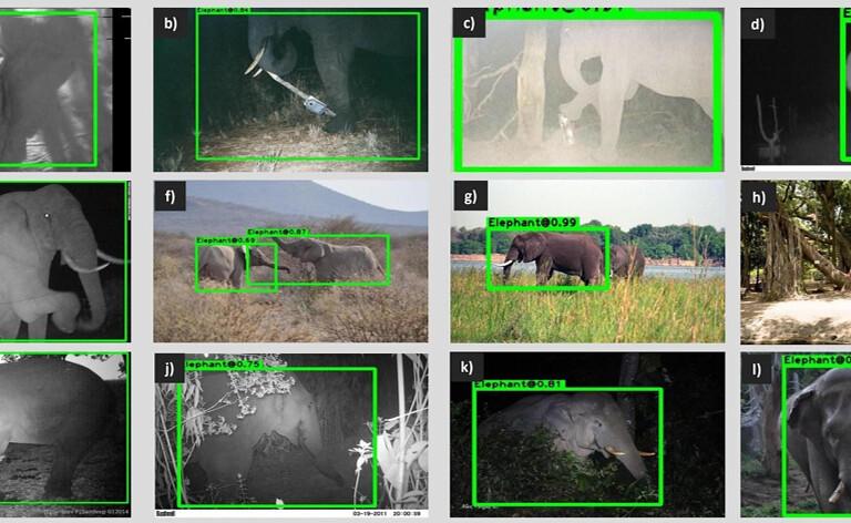 1 影像面板顯示WildEyes優秀的大象辨識能力,這個AI系統的訓練不侷限於特定物種,因此可以辨識亞洲象、非洲森林象和非洲草原象。圖片來源:RESOLVE