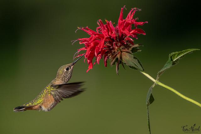 Hummingbird & Bee Balm