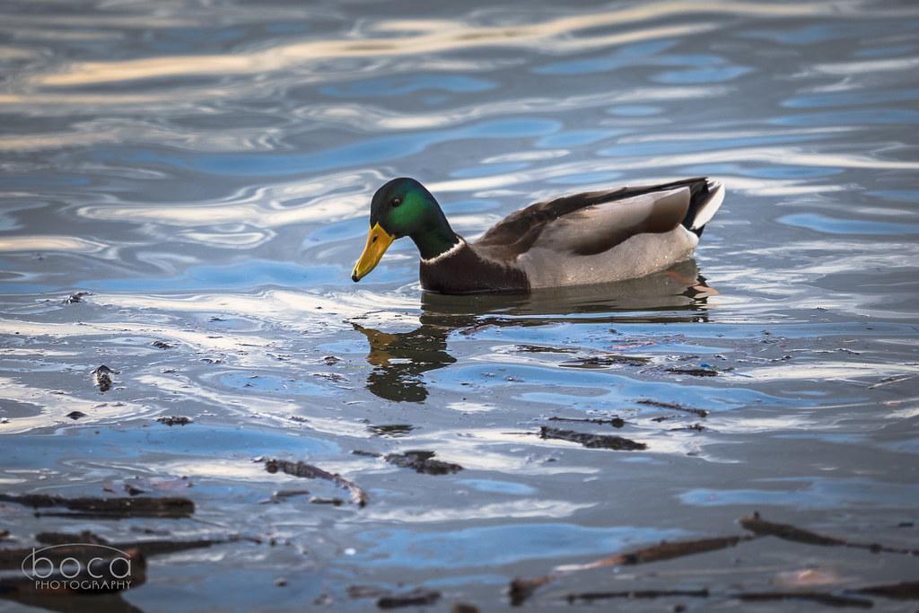 Portret jedne patke sa Dunava
