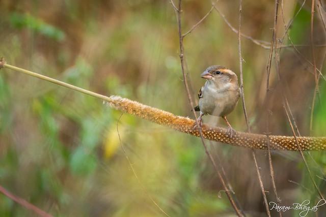 Sparrow Female (PB2_3196)