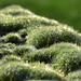 Dauwdruppels op mos