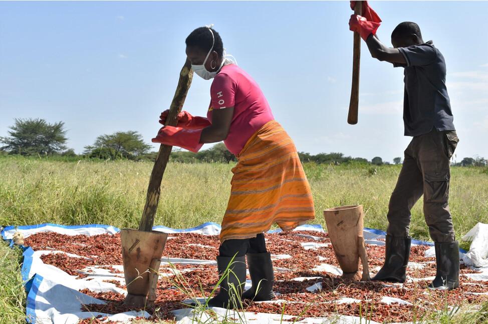 4 坦尚尼亞居民搗碎辣椒。製作辣椒粉非常耗費人力,成品將被放入掛在農田圍籬的提包來驅趕大象。圖片來源:奧科斯研究院東非辦公室