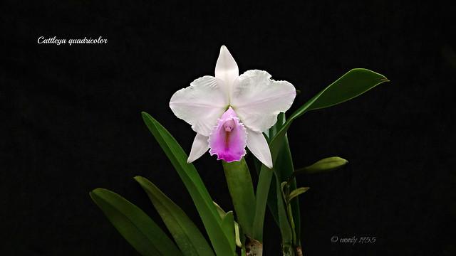 Cattleya quadricolor syn.chocoensis