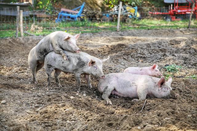 The pigs of Boer & Compagnie in Heverlee
