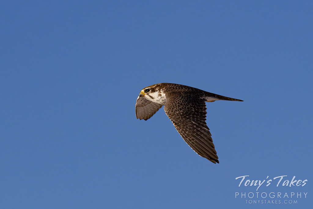 A prairie falcon makes a fast flyby in Colorado. (© Tony's Takes)