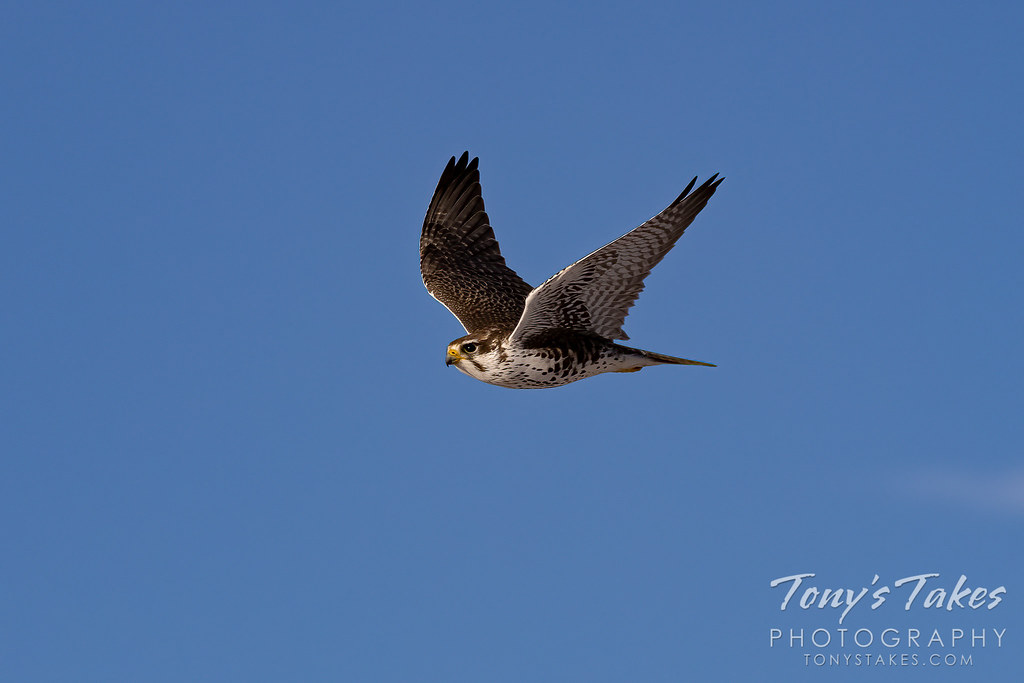 Prairie falcon flyby against a beautiful, blue Colorado sky