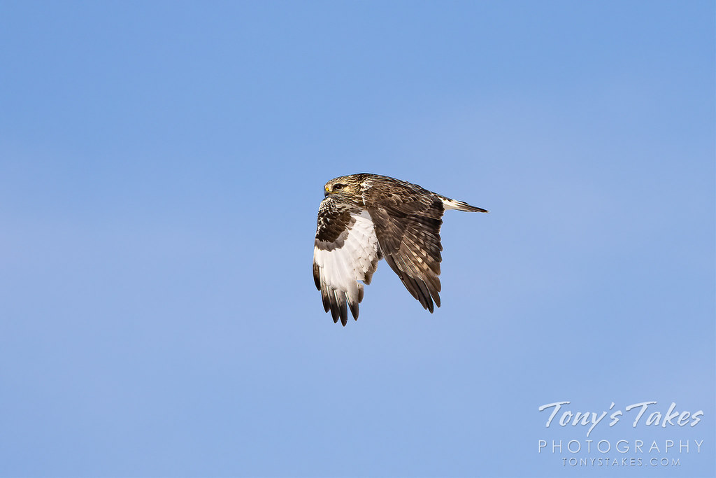 A rough legged hawk makes a flyby on the Colorado plains. (© Tony's Takes)