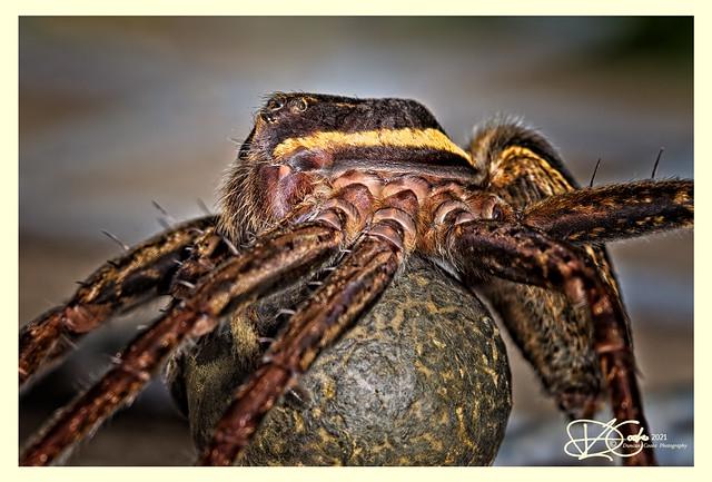 DS0D0648-Raft-Spider-or-Swamp-Spider,-Dolomedes-fimbriatus