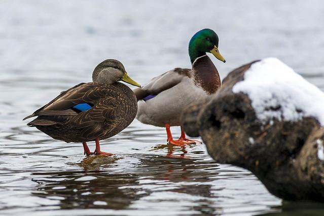 American Black Duck (L) Mallard Duck (R)