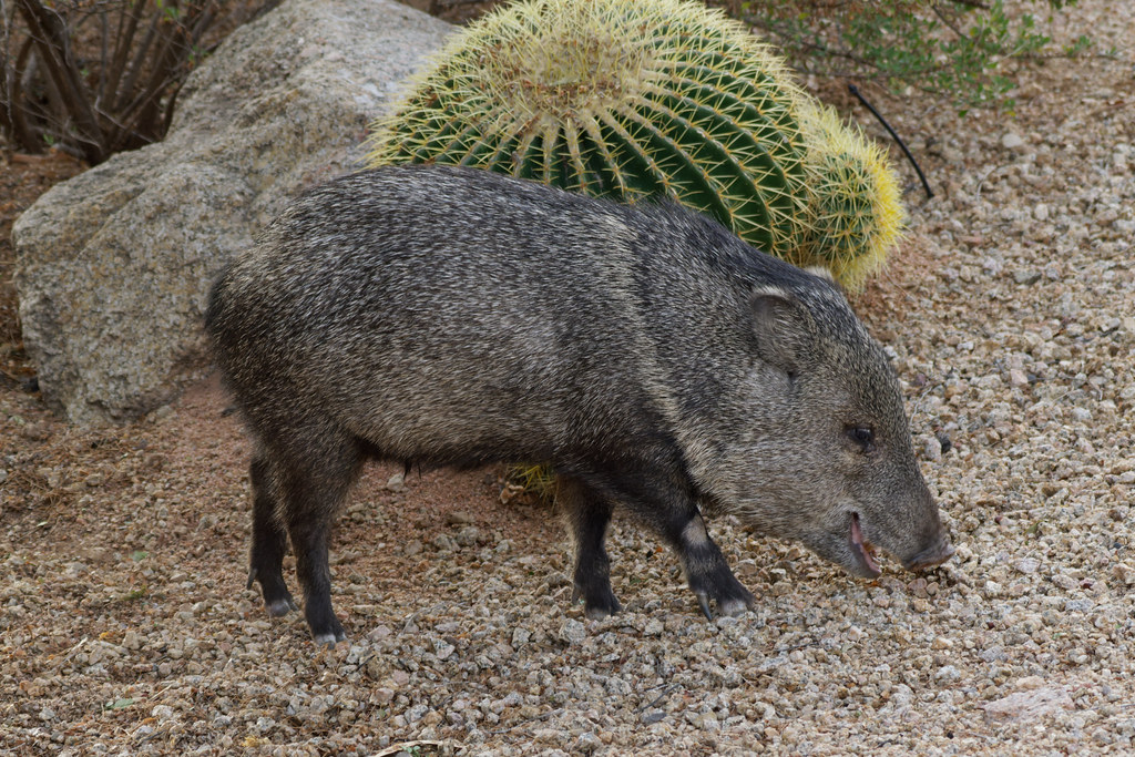 A javelina eats in our front yard on December 27, 2020. Original: _RAC2559.arw