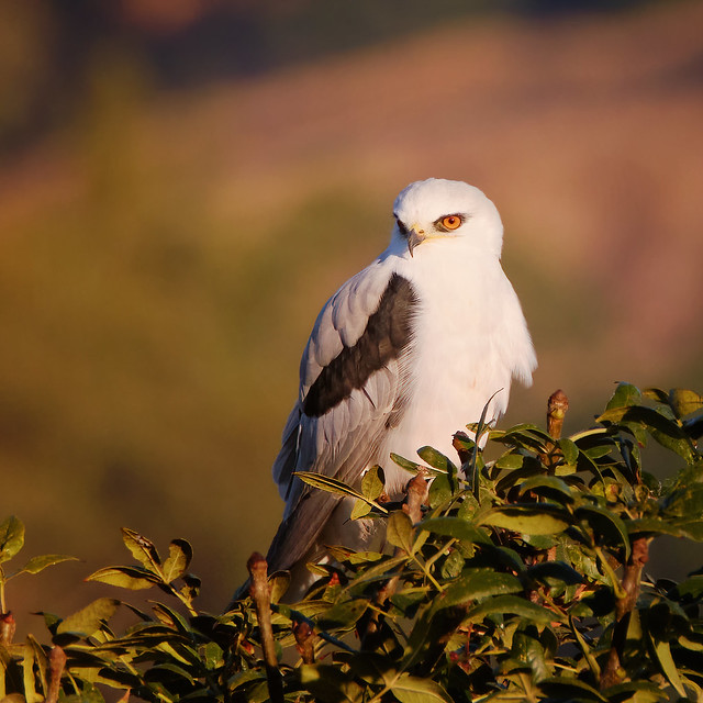 Lookout: White-Tailed Kite