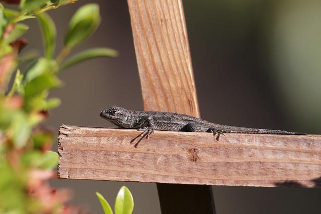 1DX30236 View Large. Lizard. Backyard. Corona California ...