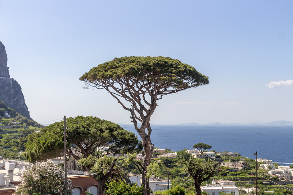 Trees - Capri