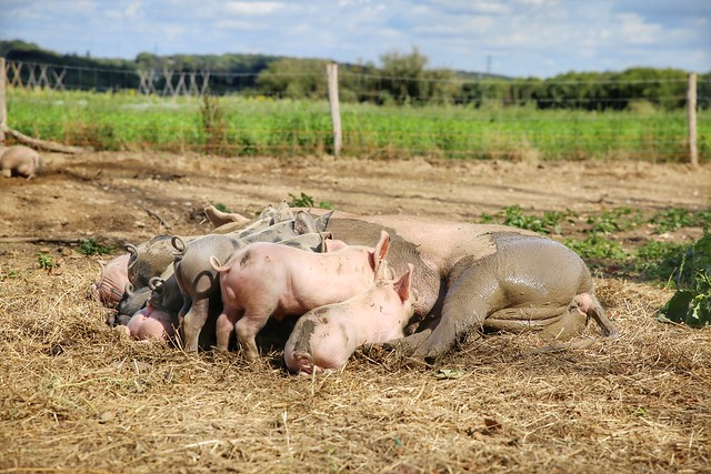 The pigs of Boer & Compagnie in Heverlee