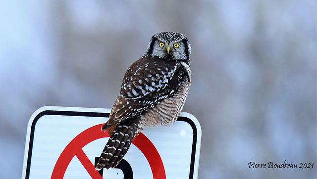 Chouette épervière - Northern hawk-owl Québec Janvier - January 2021