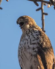 Cooper's Hawk !