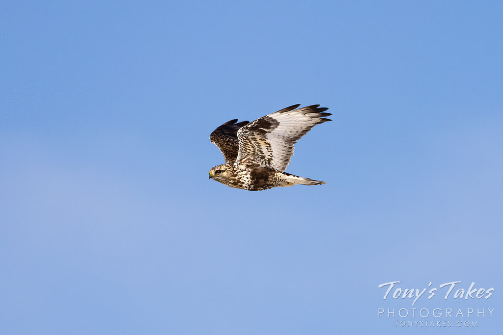 Rough legged #hawk makes a fast flyby