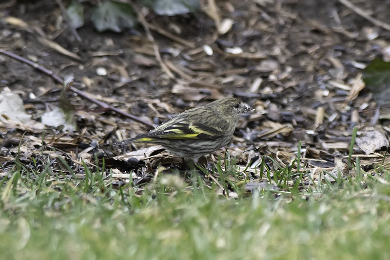 New Year, New Siskin
