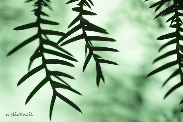Slangenden / House pine