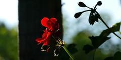 Fleurs pour un mien contact défunt – R.I.P.  Tullio Rodda