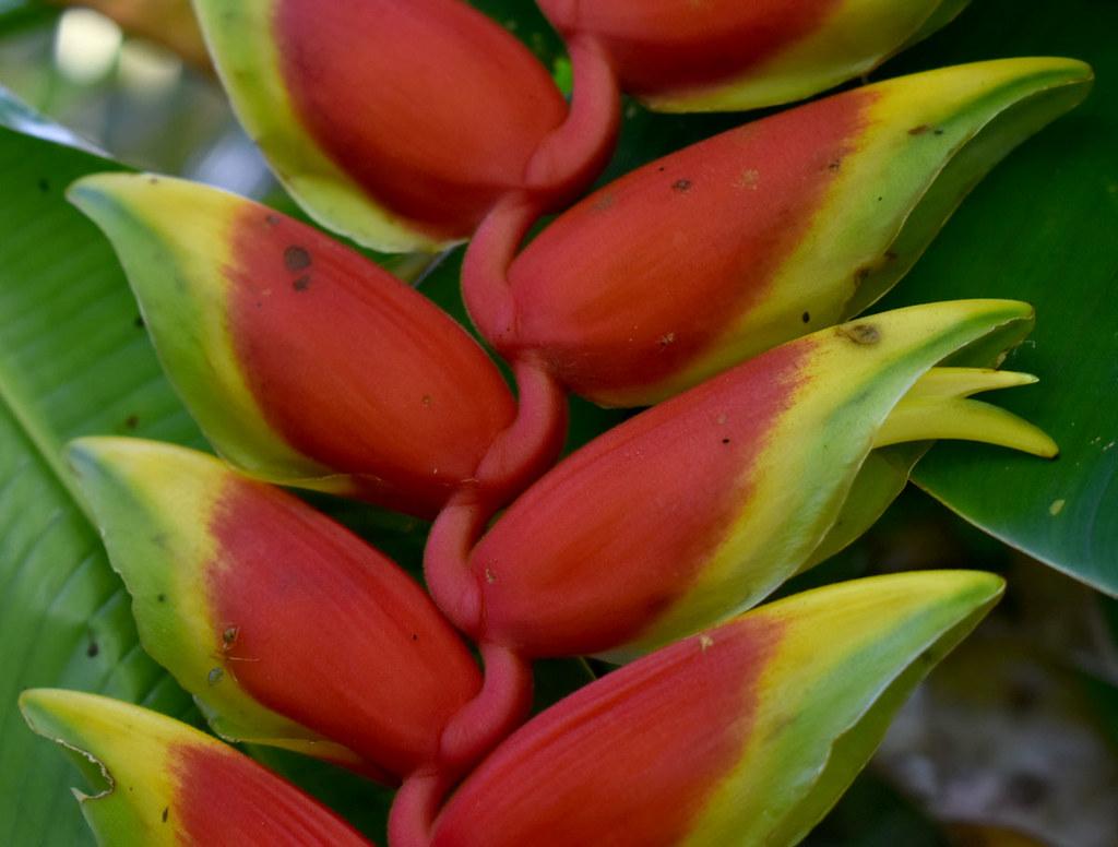 Heliconia rostrata, Flecker Botanic Garden, Cairns, QLD, 22/12/20
